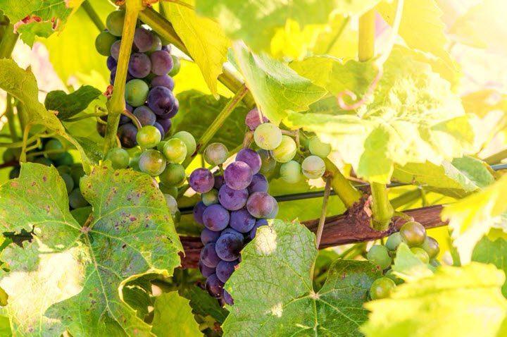 Vitis Ullandi – en norskprodusert rødvin